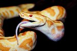What Senses Do Snakes Use to Catch Their Prey?