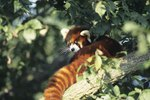 Does a Red Panda Hibernate or Migrate in Cold Weather?
