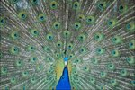 Why Do Peacocks Spread Their Feathers?