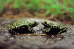 Differences Between a Male & Female Frog