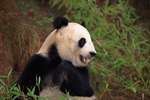 How Many Giant Pandas Are in Captivity in the United States?