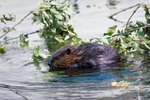 What Animal Eats Beavers?