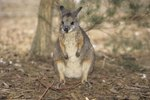 Difference Between a Wallaby & Wallaroo