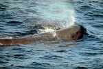 What Oceans are Sperm Whales Found In?
