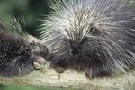 How Long Do Porcupines Stay With Their Mom?