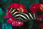 Information About Zebra Butterflies