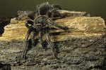 Different Breeds of Tarantulas