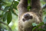 Eating Habits of a Three-Toed Sloth