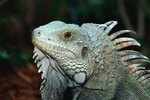 How Can You Tell a Girl Iguana From a Boy?
