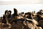 Sea Lions' Adaptations for Catching Prey