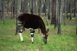 What Kind of Climate Do the Okapis Live In?