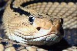 How Do Diamondback Rattlesnakes Care for Their Babies?