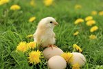 How to Determine if a Baby Chicken Is Male or Female