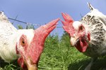 Chicken Comb Diseases