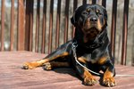 How to Train Rottweilers as Guard Dogs using Common Sense