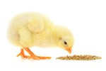 What Kinds of Foods do Baby Chickens Eat?