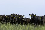 How to Read a Cattle Market Report