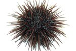 How to Farm Sea Urchins