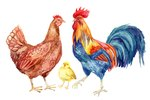 How Can You Tell a Rooster From a Hen?