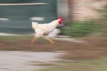 How Fast Does a Chicken Run?