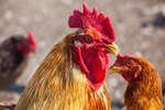 How to Stop Hens From Fighting
