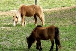 How to Potty Train a Miniature Horse