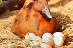 How Many Hours a Day Does a Duck Have to Sit on Her Eggs?