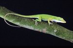 How to Hatch Anole Eggs