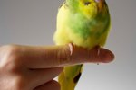 How to Trim a Parakeet's Beak