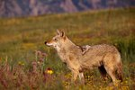 What Are the Different Types of Coyotes?