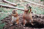 What Is the Difference Between a Prairie Dog & a Gopher?