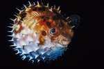 What Are the Puffer Fish's Enemies?