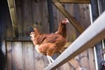 Where Do You Put Perches in Chicken Coops?