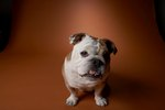 What Is the Difference Between English Bulldogs & Miniature English Bulldogs?