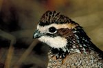 How to Build a Brooding Box for a Bobwhite Quail