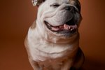 What Two Breeds Make an English Bulldog?