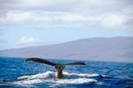 Diving With Whales in Hawaii