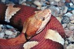 Facts About Copperhead Snakes