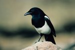 The Difference Between Male & Female Magpies