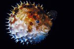 How to Puff Up a Puffer Fish