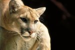 Mountain Lion's Adaptations to Live in the Desert