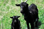 How to Make a Kid and Goat Creep Feeder