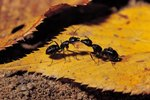 Ant Species in Massachusetts
