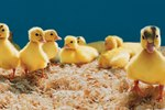 How to Breed Pekin Ducks