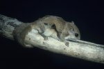 What States Allow Flying Squirrels As Pets?