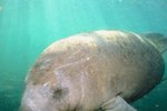Places to See Manatees in the Florida Panhandle