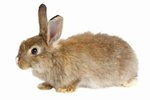 What Does a Young Cottontail Rabbit Eat?