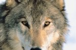 When Did the Gray Wolf Become Endangered?