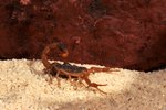 Common Scorpions in East Texas