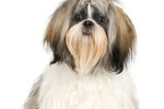 Kinds of Shih Tzu Puppies